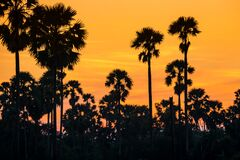 Silhoette sugar palm tree  at sunset with twilight sky