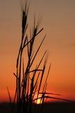Silhouet 3 van de tarwe Stock Fotografie