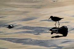 Silhouet die van alba kleine wadende vogels van een de sanderling Calidris naar voedsel bij de waterenrand zoeken in Agadir, Maro royalty-vrije stock fotografie