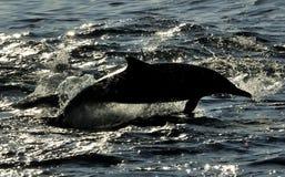 Silhouet die van dolfijn, in de oceaan zwemmen en voor FI jagen Royalty-vrije Stock Foto's