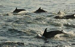 Silhouet die van Dolfijnen, in de oceaan zwemmen en voor F jagen Royalty-vrije Stock Afbeeldingen