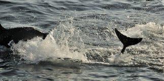 Silhouet die van Dolfijnen, in de oceaan zwemmen en voor vissen jagen Stock Foto's