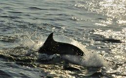 Silhouet die van Dolfijnen, in de oceaan zwemmen en voor vissen jagen Royalty-vrije Stock Foto