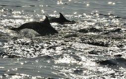Silhouet die van Dolfijnen, in de oceaan zwemmen en voor vissen jagen Stock Afbeeldingen