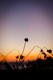 Silhouet flower grass Stock Photography