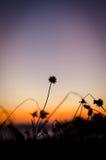 Silhouet flower grass. Last light Stock Photography