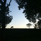 Silhouet-Schafe Stockfotos