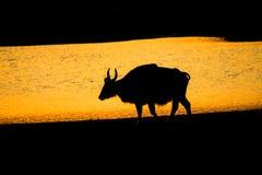 Silhouet van bizon, Zonsondergang met Indische bizon, gaur Royalty-vrije Stock Foto's