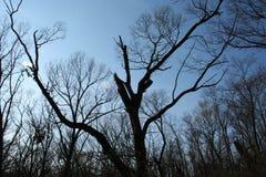 Silhouet van bomen en blauwe hemel Royalty-vrije Stock Foto
