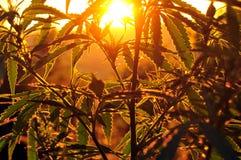 Silhouet van cannabisinstallatie bij zonsopgang Royalty-vrije Stock Fotografie