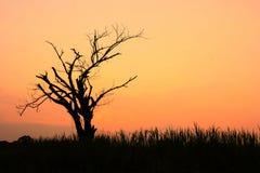 Silhouet van droge boom bij zonsondergang Stock Fotografie