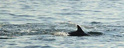 Silhouet van een achtervin die van een dolfijn, in de oceaan zwemmen Stock Foto's