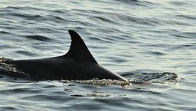 Silhouet van een achtervin die van een dolfijn, in de oceaan zwemmen Stock Fotografie
