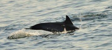 Silhouet van een achtervin die van een dolfijn, in de oceaan zwemmen Stock Foto