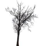 Silhouet van een berkboom in de winter stock fotografie