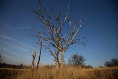 Silhouet van een dode boom Stock Foto
