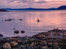 Silhouet van een Grote Blauwe Reiger die in de zonsondergangtijd vissen Stock Fotografie