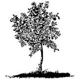 Silhouet van een jonge appelboom Royalty-vrije Stock Foto