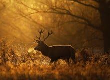 Silhouet van een rood hertenmannetje stock foto's