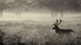 Silhouet van een rood hertenmannetje Stock Afbeeldingen
