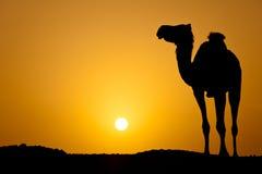 Silhouet van een wilde kameel bij zonsondergang Royalty-vrije Stock Afbeelding