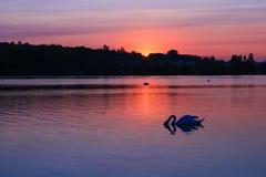 Silhouet van een zwaan in het midden van een meer met zijn hoofd in het water De zonsondergang van Nice op de horizon met zachte  royalty-vrije stock afbeeldingen