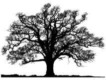 Silhouet van eiken boom Stock Foto