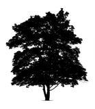 Silhouet van esdoornboom Royalty-vrije Stock Afbeeldingen