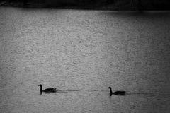 Silhouet van ganzen in water Rebecca 36 royalty-vrije stock afbeelding