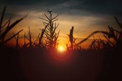 Silhouet van gras in de zonsondergang Stock Afbeeldingen