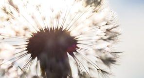 Silhouet van het hoofd van zaden van de paardebloembloem in s Royalty-vrije Stock Foto's