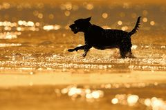 Silhouet van hond bespattend water Stock Afbeeldingen
