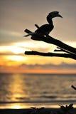 Silhouet van Hornbill Stock Foto's