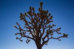 Silhouet van Joshua Tree Stock Foto's