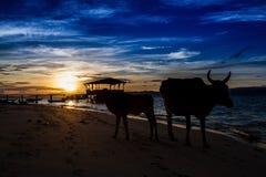 Silhouet van Koeien Stock Afbeelding