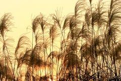 Silhouet van Lang Gras Royalty-vrije Stock Afbeeldingen
