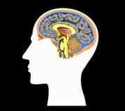 Silhouet van menselijk hoofd met hersenen binnen anatomie Royalty-vrije Stock Afbeeldingen