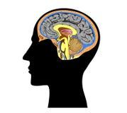Silhouet van menselijk hoofd met hersenen binnen anatomie Royalty-vrije Stock Afbeelding