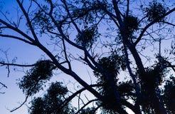 Silhouet van naakte boomtakken in blauwe schemeringhemel Royalty-vrije Stock Foto's