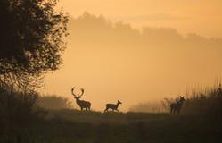 Silhouet van rode herten en hinds op weide Stock Fotografie