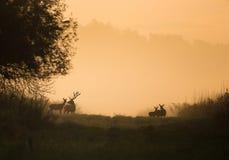 Silhouet van rode herten en hinds op weide Royalty-vrije Stock Fotografie