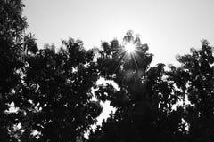 Silhouet van Tectona-grandis en Glanzende zon Royalty-vrije Stock Afbeeldingen