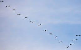 Silhouet van troep van vogels Stock Fotografie
