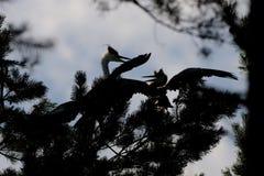 Silhouet van volwassen en jeugdgrey herons bij de pijnboomboom stock foto