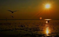 Silhouet van zeemeeuwen die bij zonsondergang vliegen Stock Fotografie