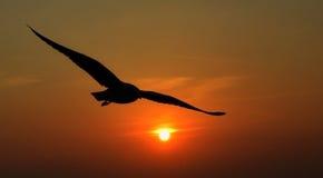 Silhouet van zeemeeuwen die bij zonsondergang vliegen Stock Foto's