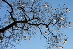 Silhouet van zwarte tak van katoenen boom op blauwe hemelachtergrond, horizontale mening stock afbeelding