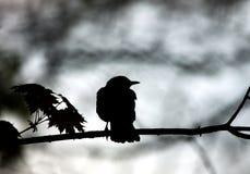 Silhouet van zwarte vogelzitting op boomtak op grijs Stock Foto's