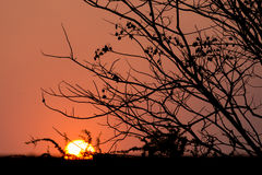 Silhouetboom bij zonsondergang Royalty-vrije Stock Afbeeldingen