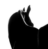 Silhouete of akhal-teke horse closeup monochrome. The silhouete of akhal-teke horse closeup monochrome stock photography